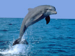 Dolphinleapingsmall.jpg